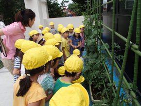 水やり、収穫を子ども達で行い、野菜を調理し食します。
